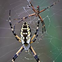 A close-up of male and female yellow garden spiders (Argiope aurantia) together in the same web, Back Bay National Wildlife Refuge, Virginia Beach, Virginia