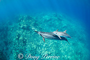 Hawaiian spinner dolphins or Gray's spinner dolphin, Stenella longirostris longirostris, mother and calf, South Kohala Coast, Hawaii ( the Big Island ), USA ( Central Pacific Ocean )