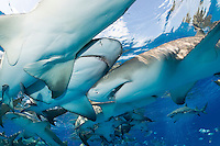 Lemon Sharks charge in toward bait scraps thrown from a boat.<br /> <br /> Shot in Bahamas
