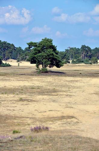 Nederland, Lunteren, 11-9-2015 Natuurgebied Het Wekeromse Zand. Een natuurgebied bij Wekerom in de provincie Gelderland. Een gebied met zandverstuivingen, vliegdennen en heide. Een voedingsarme zandgrond. Zij ligt aan de rand van de Veluwe, de veluwezoom. Er groeit struikheide die in augustus en september prachtig bloeit. Foto: Flip Franssen/HH