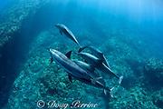 Hawaiian spinner dolphin or Gray's spinner dolphin or long-snouted spinner dolphins ( Stenella longirostris longirostris ) swim over lava arch on coral reef, Kaupulehu, Kona Coast, Big Island, Hawaii ( Central Pacific Ocean )