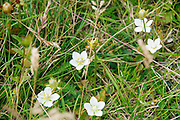 Alpine wildflower Pyrenean buttercup (Ranunculus pyrenaeus), Photographed in Austria, Tyrol