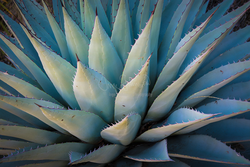 "Agave americana, common names sentry plant, century plant, maguey, or American aloe, is a species of flowering plant in the family Agavaceae, native to Mexico, and the United States in New Mexico, Arizona and Texas. Today, it is cultivated worldwide as an ornamental plant. It has become naturalized in many regions, including the West Indies, parts of South America, the southern Mediterranean Basin, and parts of Africa, India, China, Thailand, and Australia. Despite the common name ""American aloe"", it is not closely related to plants in the genus Aloe."