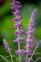 Salvia leucantha AGM - Mexican bush sage