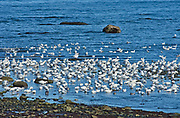 Snow geese (Anser caerulescens) in the Saint-Lawrence River<br />