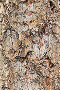 Detail of patterned tree bark, Lost Creek Wilderness, Colorado.
