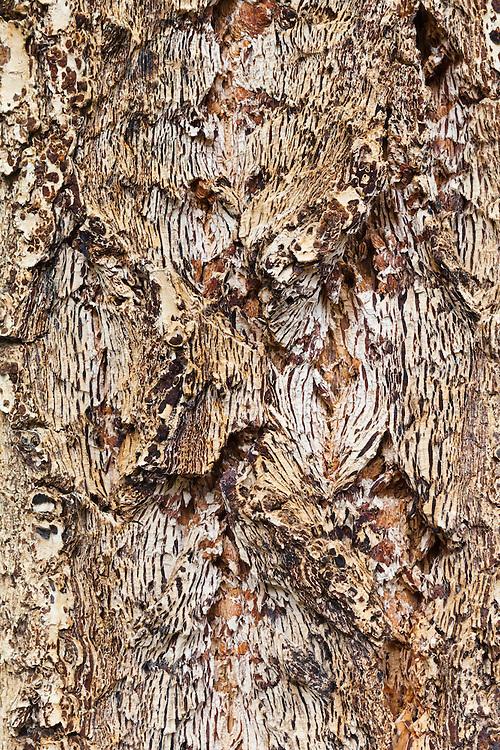 Detail of patterned tree bark, Lost Creek Wilderness, Colorado.