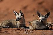 Bat-eared fox (Otocyon megalotis) | Wenn die Schatten lang sind - also in den frühen Morgenstunden und am Abend - wird es Zeit, den Ruheplatz zwischen den Büschen zu verlassen. Diese beiden erwachsenen Löffelhunde (Otocyon megalotis) haben die heißeste Zeit des Tages, ebenso wie die Nacht, verschlafen. Jetzt sind die Temperaturen nicht mehr zu hoch, um zu jagen, aber auch noch nicht so niedrig, dass die wichtigsten Beutetiere, die Insekten, nicht mehr aktiv sind.