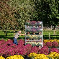 11.10.2019; Altwis; <br /> In der Pflanzenkulturen Emil Huber AG werden Blumen fuer den Transport bereit gemacht <br /> (Andy Mueller/freshfocus)
