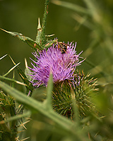 Thistle. Image taken with a Leica CL camera and 90-280 mm lens.