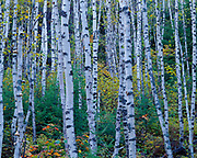 Paper Birch, Betula papyrifera, forest, Tettegouche State Park, Minnesota.