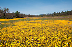 California wildflower travel: Goldfields wildflowers in San Antonio Valley south of Livermore.Photo copyright Lee Foster.  Photo # cawild102057