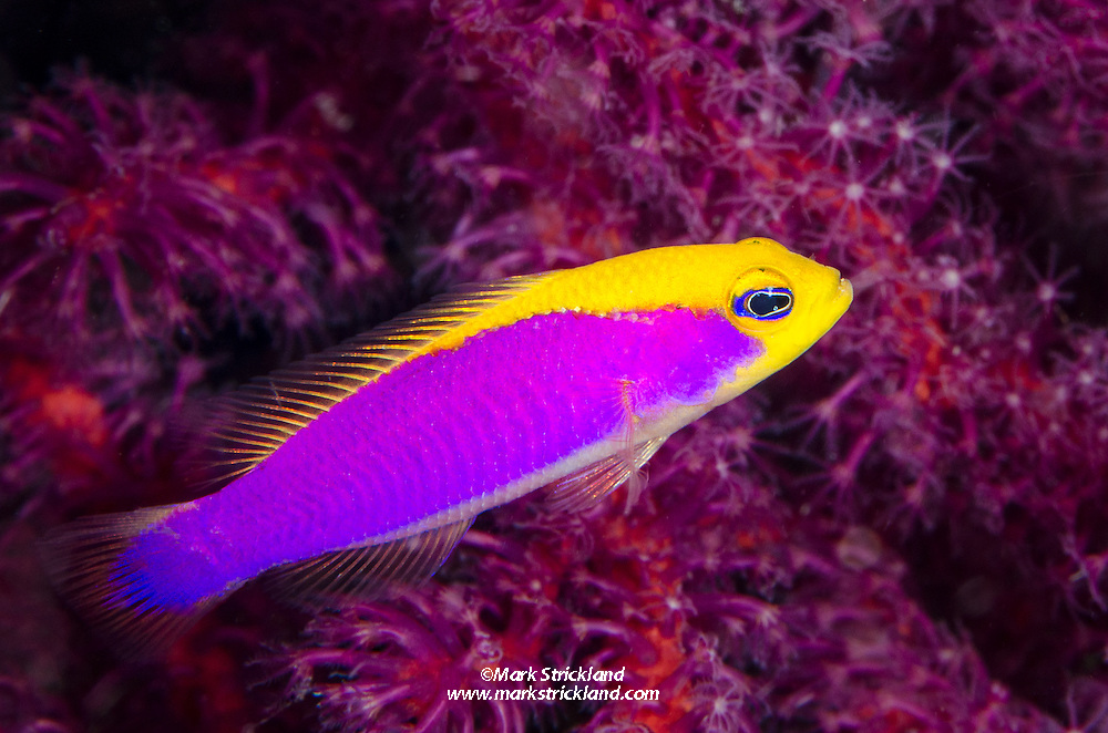 Caitlin's Dottyback, Pictichromis caitlinae, endemic to Cenderawasih Bay, West Papua, Indonesia