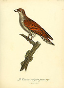 Juvenile Common Cuckoo from the Book Histoire naturelle des oiseaux d'Afrique [Natural History of birds of Africa] Volume 5, by Le Vaillant, Francois, 1753-1824; Publish in Paris by Chez J.J. Fuchs, libraire 1799