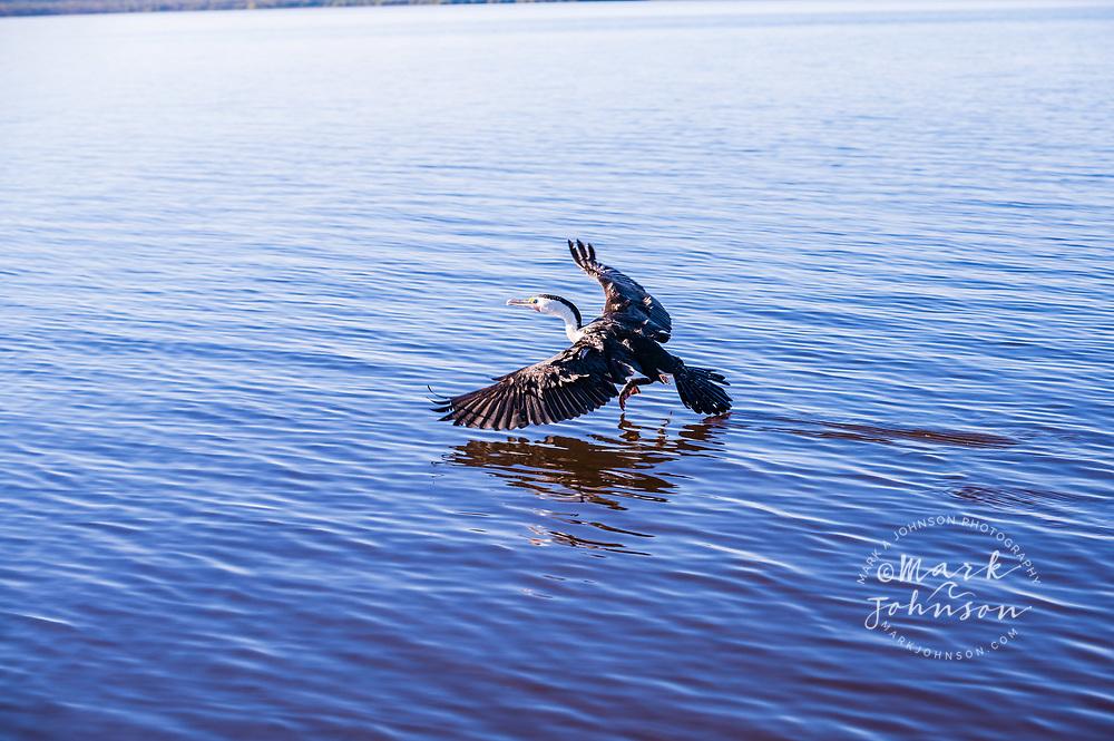 Pied Cormorant (Phalacrocorax varius), Elanda Point, Lake Cootharaba, Queensland, Australia