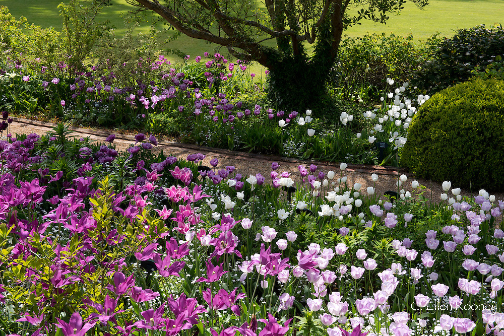 Tulipa 'Shirley' a purple and white tulip and Tulipa 'Puple Dream' a lily flowered tulip in a bed at Pashley Manor Gardens, Ticehurst, East Sussex, UK