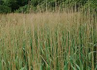 Reeds near lake West Cork ireland