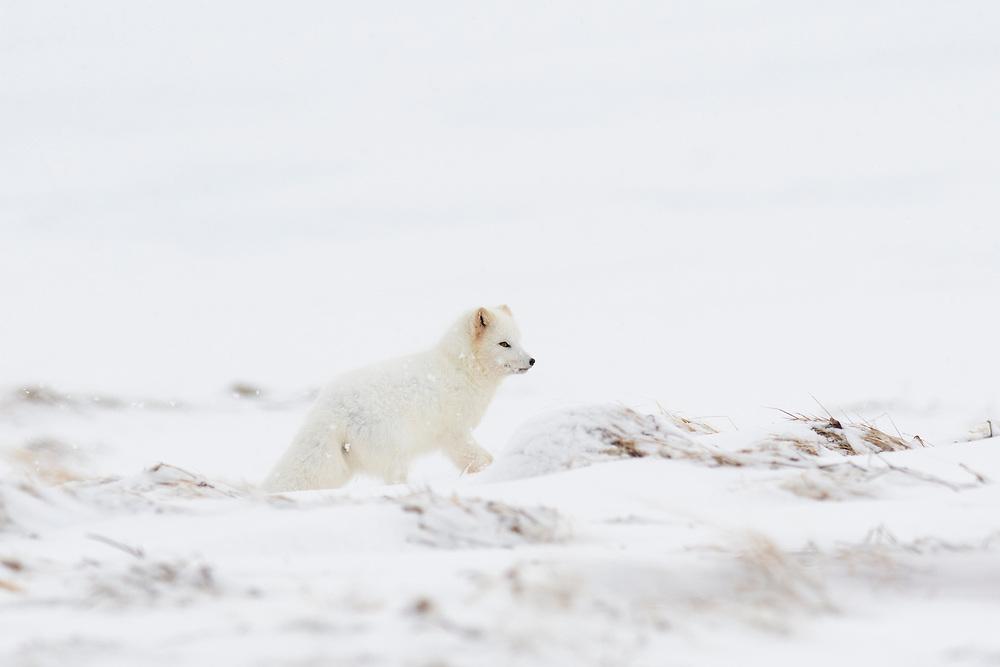 Arctic fox (Vulpes [Alopex] lagopus). White colour morph. Hornstrandir Nature Reserve, Iceland. March 2018