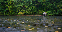 Lawrence Greasley, flyfisher from the UK, fishing for Grayling (Thymallus thymallus) on a rainy day in the San River. Myczkowce, Poland.