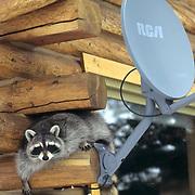 Raccoon, (Procyon lotor) climbing on log home near DDS satellite. Rocky mountains. Montana. Captive Animal.