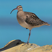 Bristle-thighed Curlew (Numenius tahitiensis) on wintering grounds. Midway Islands, Hawaii