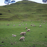 Sheep in the parklands at One Tree Hill, an historic landmark in Auckland, New Zealand, 11th November 2010. Photo Tim Clayton