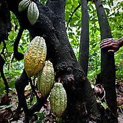 The cocoa is notoriously difficult to cultivate, it refuses to bear fruit outside the narrow strip lying between latitudes 20 degrees north and south of the equator. And in this tropical region it will only grow at altitudes where the temperature does not go below 16°C.
