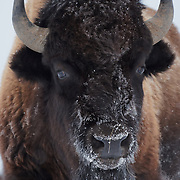 American bison (Bison bison) with a frosty face, Yellowstone National Park, Montana.