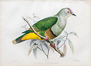 Illustration of Samoan fruit-dove (ptilopus pictiventris now Ptilinopus fasciatus) from 1878