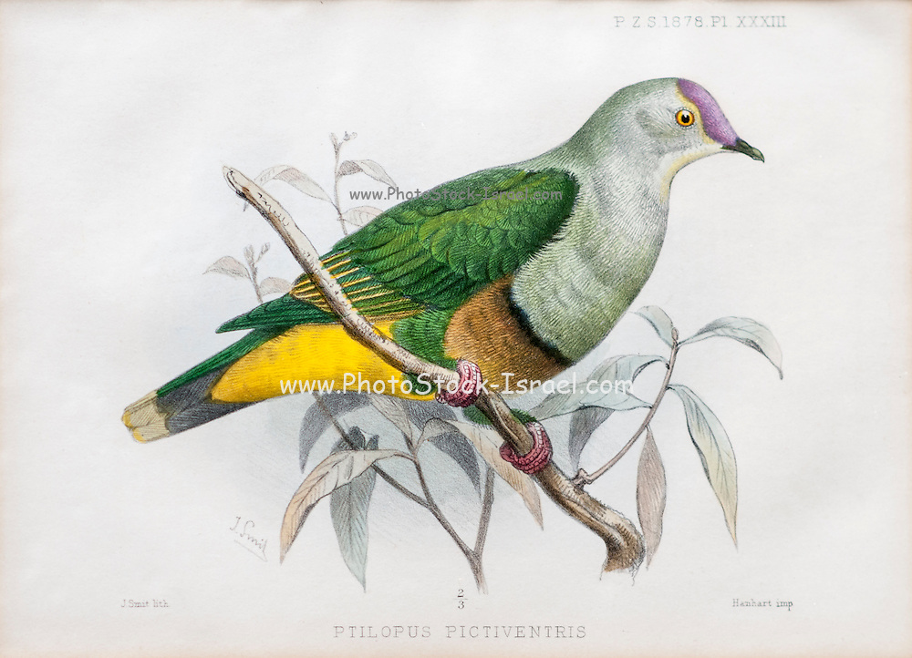Illustration of Samoan fruit-dove (ptilopus pictiventris now Ptilinopus fasciatus) from 1878