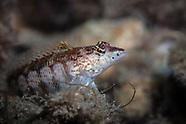 Parapercis haackei (Wavy Grubfish)