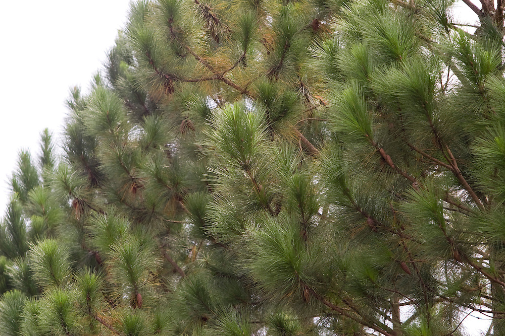 Santos Dumont_MG, Brasil...Detalhe de pinheiros proximo a Santos Dumont...Detail of pine trees next to Santos Drumond...Foto: LEO DRUMOND / NITRO
