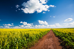 """Campo de canola no interior de Sao Paulo. Canola, que eh uma contracao de uma expressao em ingles que quer dizer """"azeite canadense de baixo teor acido"""", (""""Canadian oil, low acid"""") /Canola field in Sao Paulo, Brazil. Canola is a type of edible oil derived from plants initially bred in Canada by Keith Downey and Baldur Stefansson in the 1970s. The oil is extracted from a group of cultivars of rapeseed variants from which low erucic acid rapeseed oil and low glucosinolate meal are obtained. The word """"canola"""" was derived from """"Canadian oil, low acid"""" in 1978."""