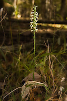 The wonderfully scented Spiranthes odorata growing in shadows of Goethe State Forest in Levy County, Florida.