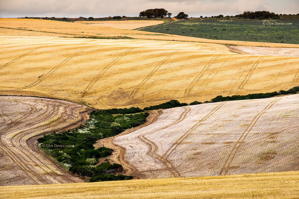 Vast harvested fields on the Western Cape, South Africa. I was surprised, being my first visit to Africa, just how lush and productive the land is in this region.