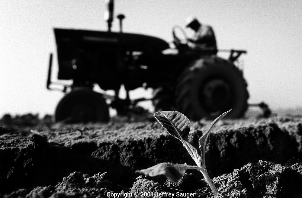 """AFTON, NORTH CAROLINA - May 2001: James Davis fertilizes young tobacco plants at his farm in Afton, NC, in May 2001. """"If I could get the money to produce the quantity, I could be more successful. Because of the debt I'm in I just can't quit,"""" said James Davis on his farm in Afton, NC, in May 2001. """"They came up with a figure of $1.5 million because of the way I was discriminated against. Here I am living in a three-bedroom single-wide mobile home at the age of 44 with three kids and a loving wife that stands behind me 100 percent."""" (Photo by Jeffrey Sauger)"""