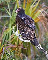 Turkey Vulture (Cathartes aura).  Merritt Island National Wildlife Refuge. Image taken with a Nikon D3s camera and 200-400 mm f/4 VR lens.