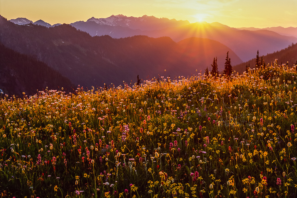 Alpine wildflower meadow, sunset, July, view from Lost Mountain, Olympic National Park, Washington, USA