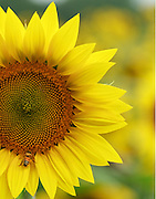 """The bright yellow sunflower attracts attention from the photographers camera and the honey bee too.<br /> <br /> 11"""" x 14""""<br /> <br /> See Pricing page for more information.<br /> <br /> Please contact me for custom sizes and print options including canvas wraps, metal prints, assorted paper options, etc. <br /> <br /> I enjoy working with buyers to help them with all their home and commercial wall art needs."""