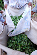 The daily harvest is softly passed from the bag to another. job, work, agricolture