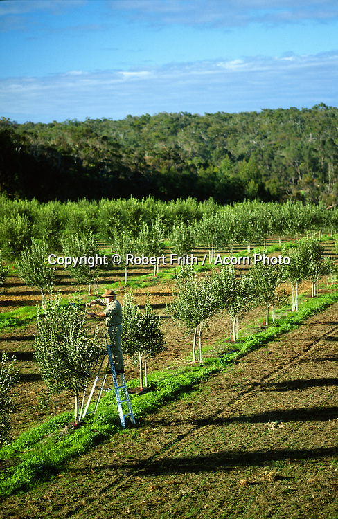 Pruning olive trees at Olio Bello