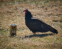 Turkey Vulture Morning Coffee Break. Image taken with a Nikon D5 camera and 600 mm f/4 VR lens (ISO 160, 600 mm, f/5.6, 1/640 sec).