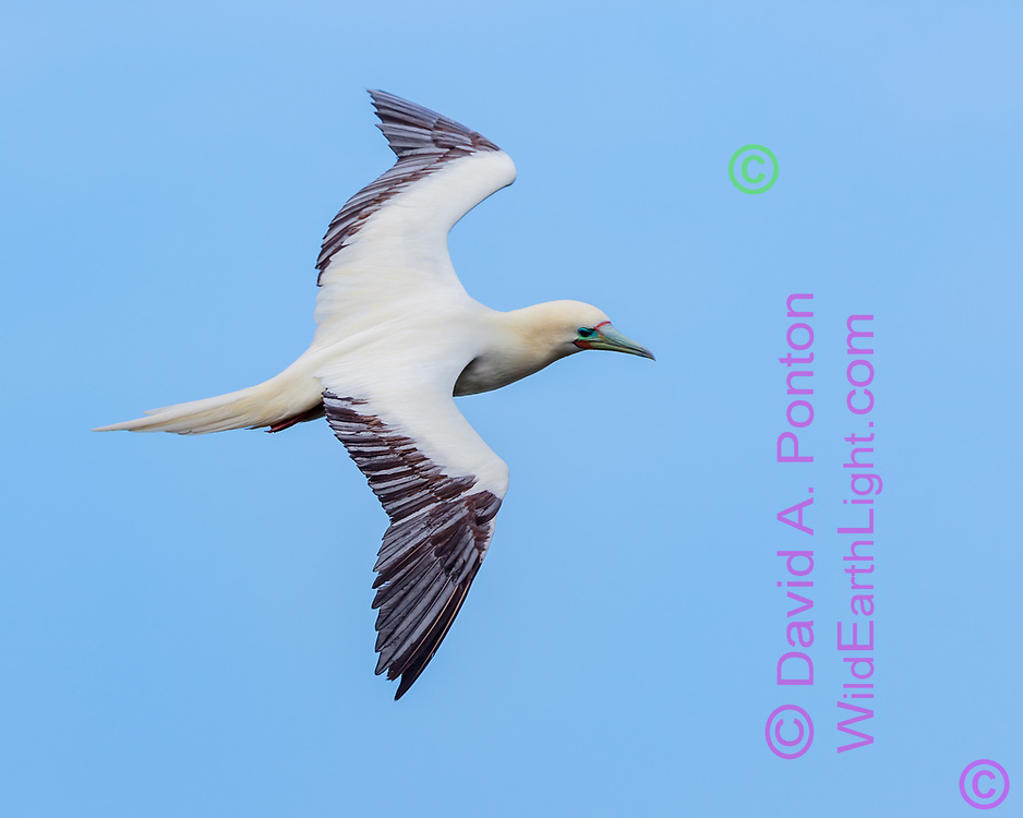 Red-footed booby  in flight, blue sky background, Hawaii, © David A. Ponton