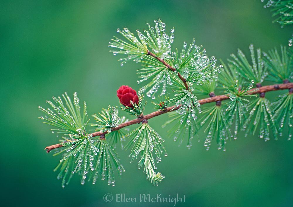 Pine Cone from Tamarack Tree