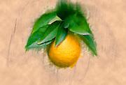 Digitally manipulated Ripe orange on a tree before picking