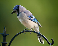 Blue Jay Image taken with a Nikon D5 camera and 600 mm f/4 VR lens (ISO 1600, 600 mm, f/5.6, 1/500 sec).
