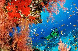 Dendronephthya hemprichi, Buntes Korallenriff mit Schleierbäumchen Weichkorallen und Taucher, Coral Reff with Hemprichs Red Soft Tree  Coral and scuba diver, Hurghada, Insel Giftun Riff, Rotes Meer, Ägytpen, Giftun Island Reef, Red Sea, Egypt, MR Yes