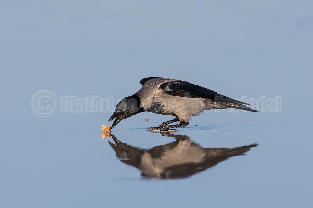 Crow eating food, with reflection in the sand | Kråke som spiser mat, med refleksjon ned i sanden.