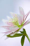 Helleborus x hybridus - double hellebore