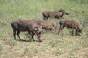 Africa, Tanzania, Lake Manyara National Park, a herd of four Warthog (Phacochoerus africanus)